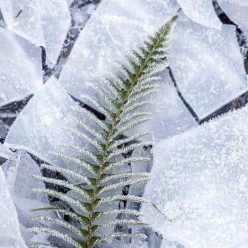 Absinthe Boréale 06 fougere fern ice frost 1200x900 - Maison Crivelli