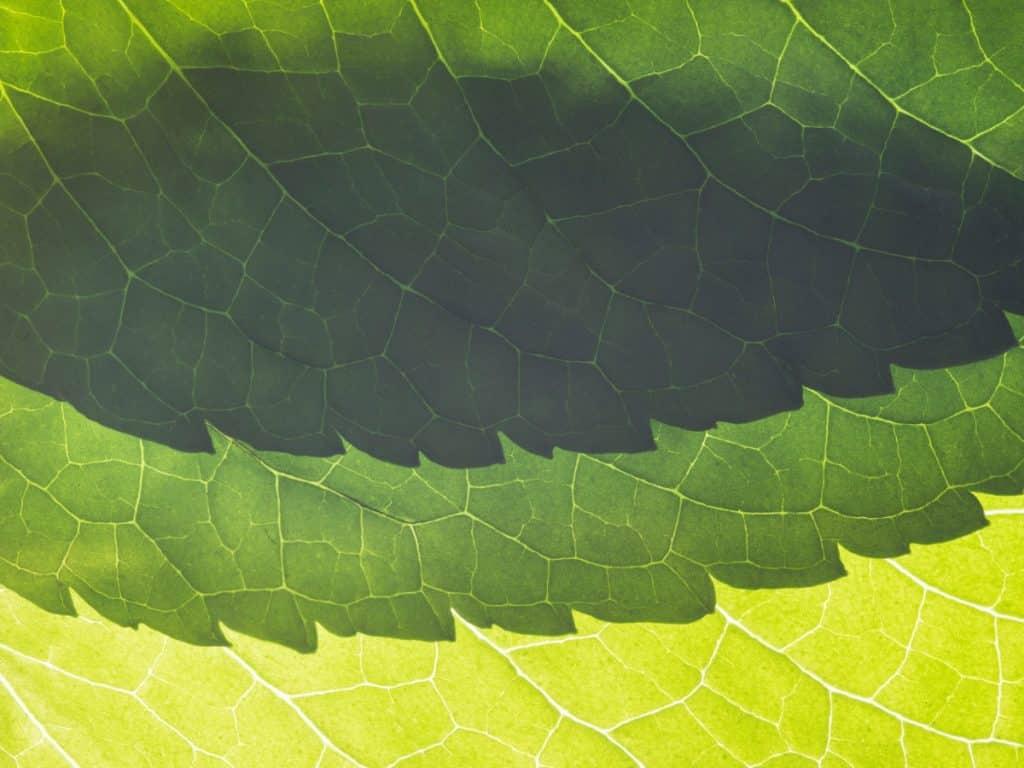 Fleur Diamantine 02 feuilles menthe froissée close up zoom macro - Maison Crivelli