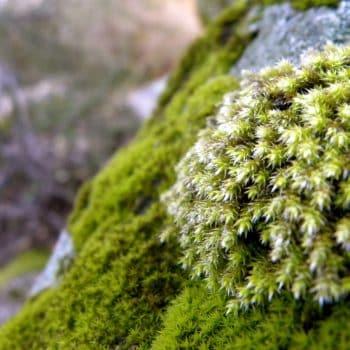 Fleur Diamantine 07 mousse sous vois forêt humide - Maison Crivelli