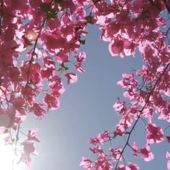 Rose Saltifolia 03 bougainvillea sunny pink petals 900x1200