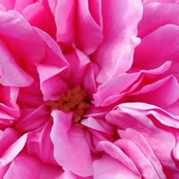 Rose Saltifolia 06 rose centifolia grasse petals 900x1200