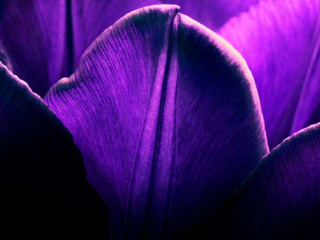 Iris Malikhân - 06 - purple petals pétales pourpres - Maison Crivelli