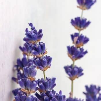 Absinthe-Boréale-07-lavender-geyser-900x1200-Maison-Crivelli